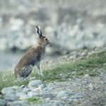 Wild hare sitting on a coast of river. Wild hare sitting on a coast of river, Leporidae, Altai