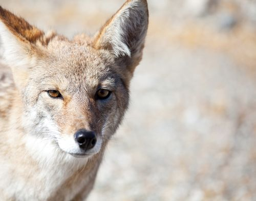 Coyote Closeup