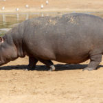 Big Hippopotamus Near Lake
