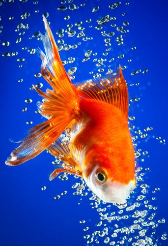 Goldfish In Dark Blue Water