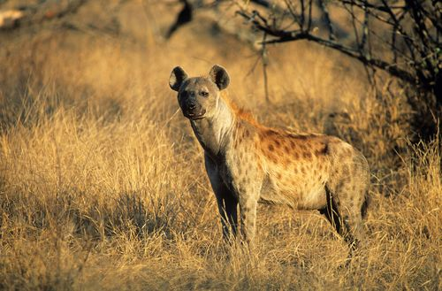 Spotted Hyena Crocuta Cocuta Standing On Savannah