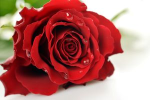 Beautiful Red Rose Close Up On White Background