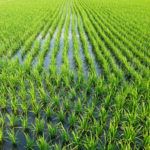 Green Field Asia Paddy Field