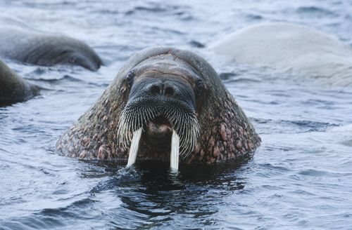 Norway Spitsbergen Walruse In Water Close Up