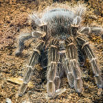 Tarantula Spider In Nature Close Up Macro Shot